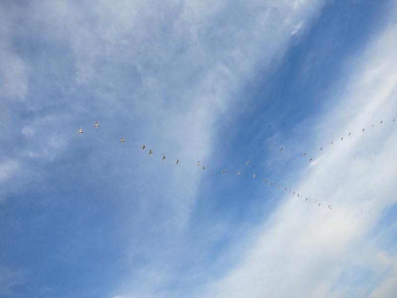 渡り鳥の群れ